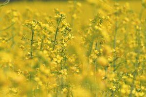 Repka olejná pestovanie a využitie v poľnohodpodárstve
