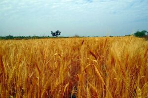 Pšenica na výrobu múky